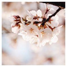 Toujours pas lassée des cerisiers!! @bdcbleblog