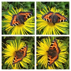 RT @mini_skywhale: Tortoiseshell butterfly at Haddon Hall in Derbyshire yesterday. @wildlife_uk pic.twitter.com/uAGgxaL3h7