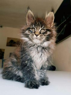 Maine Coon Cat Gallery - Cat's Nine Lives Cute Cats And Kittens, Cool Cats, Kittens Cutest, Pretty Cats, Beautiful Cats, Animals Beautiful, Cute Baby Animals, Animals And Pets, Gatos Cool