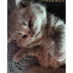 #cutecat #paws #cuddles #kitten #cat #kot #chat #katze #britishshorthair #britischkurzhaar #brittiskkorthår #kotbrytyjski #brytyjczyk #brytek #britishblue #britishshorthairkitten #britishshorthaircattery #britishbaby #babycat #cattery #hodowlakotowbrytyjskich #catlover #catsofinstagram #catstagram #catoftheday @babyanmals @polskiekoty