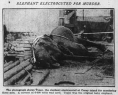 Topsy the Elephant was electrocuted by Thomas Edison's technicians at Coney Island before a crowd of thousands. Photo: Chicago Tribune