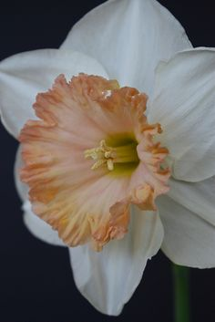 "Narcissus 'Sentinel' are DEFINITELY one of my few favorites as well. I have flowers that I like, then I have some that I love as a ""Favorite."" This is one of them. http://www.buzzle.com/articles/flower-types-list-of-different-types-of-flowers-with-pictures.html#list-of-all-the-different-types-of-flowers-with-pictures"
