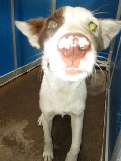 07/04/15-Meet Cage 2 July 2, a Petfinder adoptable Cattle Dog Dog   Greenville, TX   This girl is a cattle dog mix pup with a pink and brown nose. She is energetic, friendly and eager...