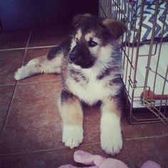 German Sheppard pup...