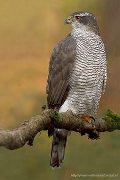 Kanahaukka-> linnut Vanhojen kuusimetsien asukas. Saalistaa variksen kokoisia lintuja. Vanhat kanahaukat talvehtivat Suomessa, nuoremmat muuttavat etelämmäs.