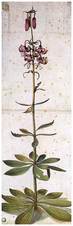 Martagon Lillium, Albrecht Durer.