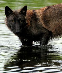 Black Wolf | Flickr - Photo Sharing!