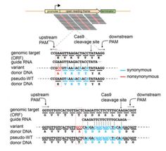 Multiplexed precision genome editing with trackable genomic barcodes in yeast - http://www.bioadvisers.com/multiplexed-precision-genome-editing-with-trackable-genomic-barcodes-in-yeast/