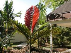 Flame Thrower Palm - you should see mine when it throws a flame!