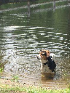 Water Beagle.