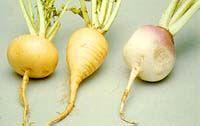 Majrova. Familj Brassicaceae.