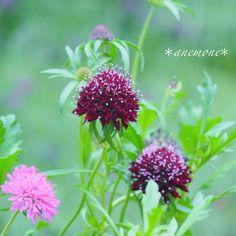#スカビオサ#Pincushionflower#マツムシソウ#flower