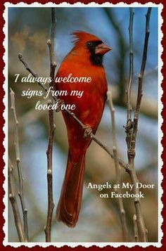 Meaning of cardinals Miss My Dad, Mom And Dad, Cardinal Birds Meaning, State Birds, Angels Among Us, Angels In Heaven, Rainbow Bridge, Kingfisher, Beautiful Birds