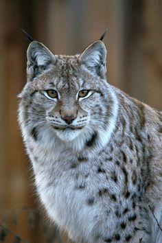 Sweet Medicine: My Spirit Guide to Honor the Great Star - SECRET WISDOM - Lynx