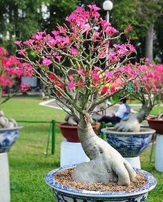 Image from http://www.flowerpictures.net/adenium/adenium_show/images/adenium_hongduc-2.jpg.