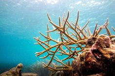 How to Fix a Coral Reef | Nature | Ambergris Caye Belize Message Board