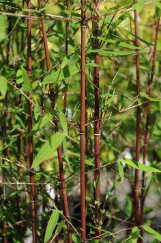 GroenVandaag – 3 nieuwe Bamboes die de aandacht vragen