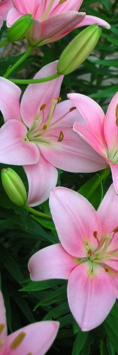 Lilies. Pink.