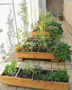 Horta em apartamento 🌱🌷🏵🐝🌷🌼🌸 💕🍀💕🍀💕🍀💕🍀💕🍀🍀🍀🍀🍀🍀🍀💕🍀💕🍀💕🍀💕🍀🍀🍀🍀🍀❤🍀🌱🍀❤🍀❤🍀❤🍀❤🌱❤🍀❤🍀🌱🍀❤🌷🌱🌷🌱🌷🌱🌷 #hortaemvasos #hortaurbana #hortaemapartamento #instagarden  #reciclagemcriativa #hortacaseira  #flores #flowers #instanature #instagarden #coentro #cilantro #caixotedefeira #gardener  #encontrandoideias #reaproveitar #minhahorta #jardimvertical #decoracaocriativa #reciclagem #splendid_nature #huertaurbana #garrafaspet #sustentabilidade #homedecor…