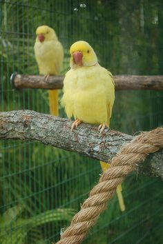 New Indian Ringneck Information