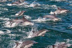 Long-Beaked Common Dolphins, Sea of Cortez, Baja California, Mexico -- TakePart -- 3-25-16 -- photo, Art Wolfe