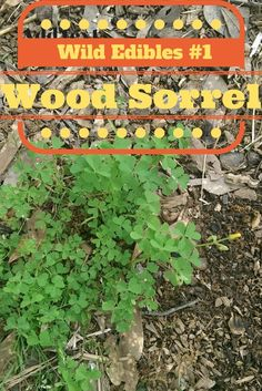 Wild Edibles #1 Wood Sorrel (Video) Written companion to the video will be released soon and can be found on www.theruraleconomist.blogspot.com.  I look forward to hearing from you