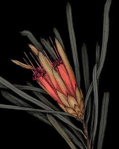 "827 Likes, 6 Comments - EDITH REWA (@edithrewa) on Instagram: ""'Lambertia formosa' detail . Last weekend for the show 'Plant Portraits : Blackheath' is this…"""