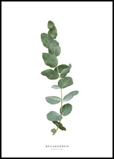 Cute poster of a eucalyptus twig, this poster will look great in any nature/botanical wall art. Aromatic oil is distracted from multiple different types of eucalyptics. The oil is distracted from the leaves and used for medical purposes, like when Cute Poster, Poster Wall, Poster Prints, Botanical Wall Art, Botanical Prints, Cactus Types, Watercolor Flower, Poster Store, Plant Aesthetic