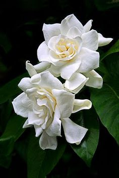 Gardenia - my mother's wedding bouquet was made out of her favorite flower.we always had a gardenia bush in our yard. My Flower, White Flowers, Beautiful Flowers, Flower Ideas, Fresh Flowers, Simply Beautiful, Beautiful Things, Beautiful Women, White Gardens