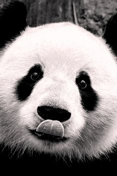~~Giant Panda is easily recognized by the large, distinctive black patches around its eyes, over the ears, and across its round body. Though it belongs to the order Carnivora, the panda's diet is over bamboo wikipedia~~ Animals And Pets, Baby Animals, Funny Animals, Cute Animals, Baby Pandas, Wild Animals, Panda Love, Cute Panda, Big Panda