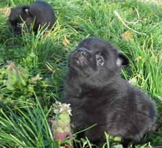Catching a few sun rays for the first time. Oh life is so good for a baby Schipperke on a farm in Tennessee!