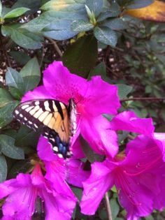 Butterfly on Purple Azaleas/photo by Linda Guy Phillips