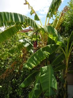 Surprising banana plants grown in the hot desert with a little water. Grown in the landscaping of hotel In Yuma, AZ.