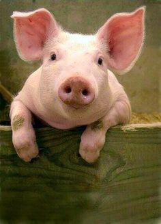 Pink Pig is All Ears
