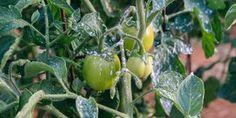 5 Secrets for Thuringia bacilli – Homedesign Ideas Outdoor Gardens, Home And Garden, House Design, Stuffed Peppers, Vegetables, Flowers, Gardening, News, Stuffed Pepper