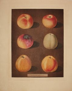 George Brookshaw's lavish folio treatise Pomona Britannica (1804-12) depicts 256 varieties of fruit grown in Britain, many of them drawn from specimens in the Royal Gardens at Hampton Court. These are apples, but there are also prints of other fruits. More here: http://www.georgeglazer.com/prints/nathist/botanical/brookshawfolioinv/brookshawfolioinv.html