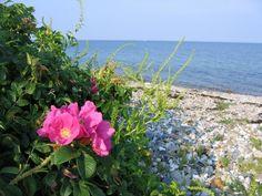 Sommer i Danmark #hybenbusk #sommeridanmark