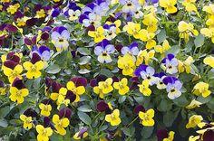 Tout savoir sur l'installation des pensées en pleine terre avec les conseils de jardinage de Rustica.