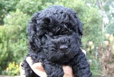 Puli FluffDog was the world's cutest puppy