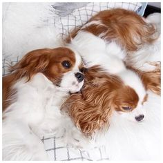 Cavalier King Charles Spaniel puppies -  Lee Rachel (@leerachel) on Instagram