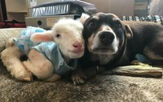 <p>Lambie Baa Baa (probably the cutest name ever for a lamb, let's be honest) is an orphaned lamb who didn't end up on someone's plate thanks to a kind person who saved him. Instead, the little one found his way to Edgar's Mission Farm Sanctuary, in Australia.</p>