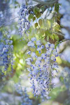 Wisteria by Jacky Parker on 500px