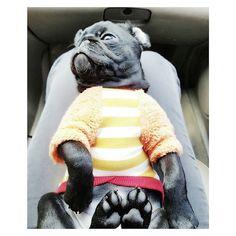 #Mrppong #momo #pug #blackpug #couple #dog #パグ #黒パグ #愛犬 #ワンちゃん #ミスターポン #モモ #びっくり #짬뽕과모모 #퍼그 #강아지 #멍멍이 #반려견 #견스타그램 #개스타그램 #멍스타일 #강사모