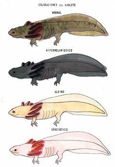 Issues With Keeping Lizards As Pets Axolotl Pet, Axolotl Care, Cute Reptiles, Reptiles And Amphibians, Cute Creatures, Sea Creatures, Animal Drawings, Cute Drawings, Animals And Pets