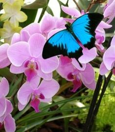 Beautiful Blue Butterfly on orchids, Annie Klessig Butterfly Kisses, Butterfly Flowers, Blue Butterfly, Pink Flowers, Beautiful Bugs, Beautiful Butterflies, Beautiful Flowers, Flying Flowers, Butterflies Flying