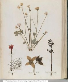 Emily Dickinson pressed flower botanicals in her herbarium via Gardenista