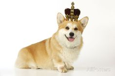 Welsh Corgi Wearing Crown and Pearls Photographic Print at ...