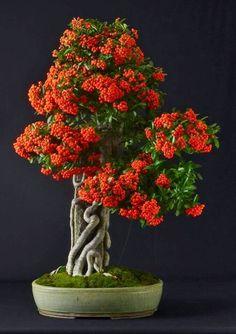 Bonsai схожий на калину.