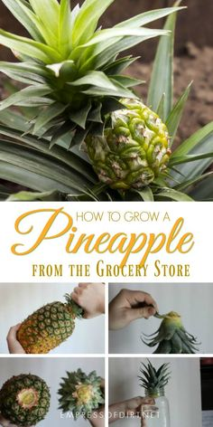 How to grow a new pineapple houseplant from a grocery store pineapple gardening houseplants pineapple propagation freeplants gardentips empressofdirt Growing Plants, Growing Vegetables, Regrow Vegetables, Organic Vegetables, Growing Fruit Trees, How To Grow Plants, Veggies, Gardening For Beginners, Gardening Tips