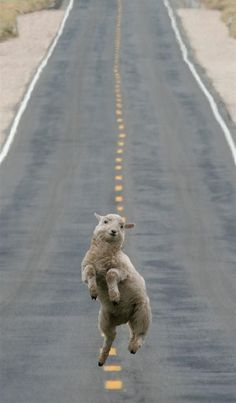 The Happiest Sheep in the World :)